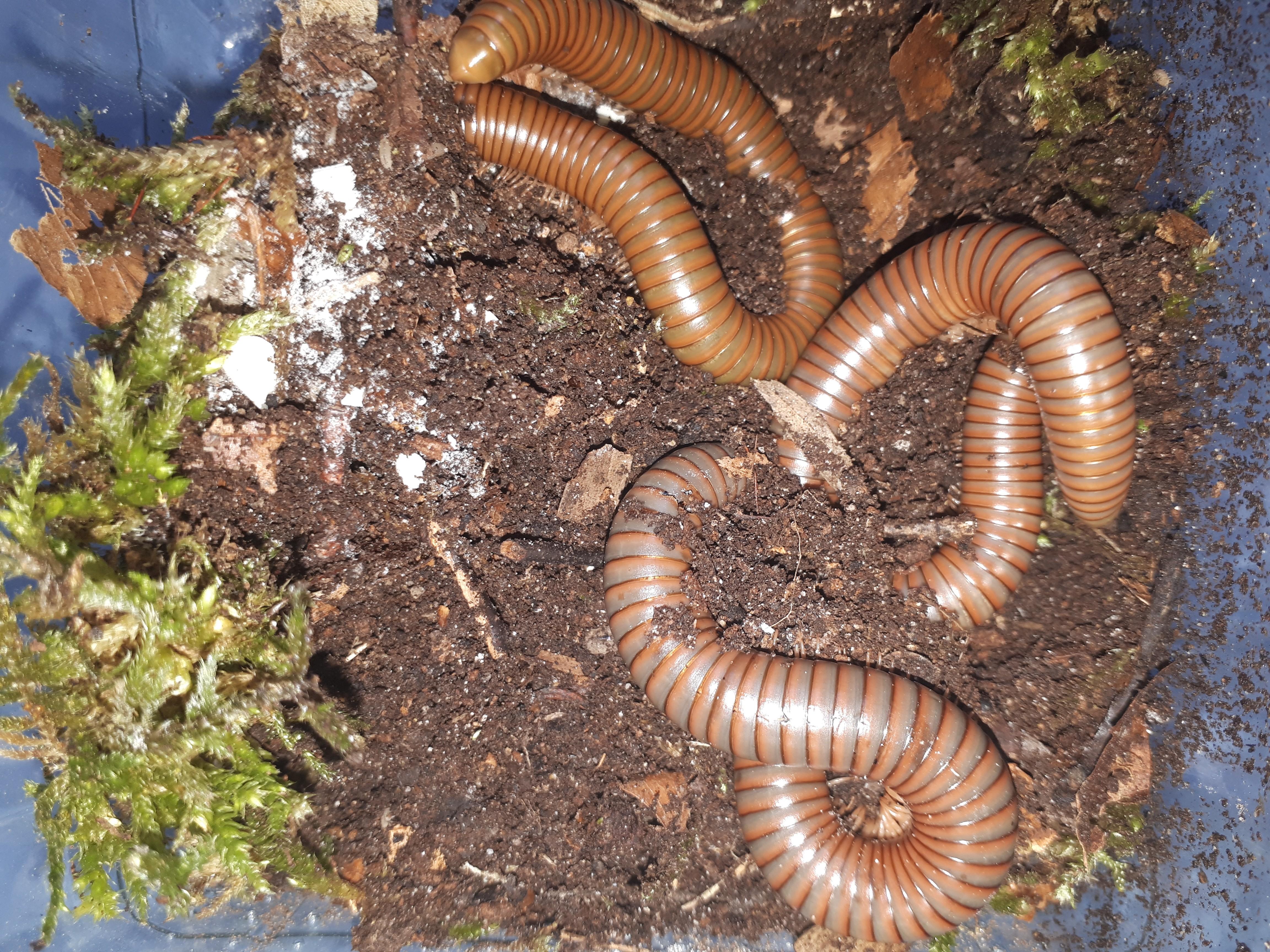 Spirostreptidae sp.1