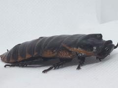Gromphadorhina portentosa Black