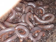 Spirobolus caudulanus
