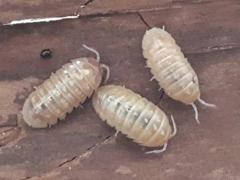 Armadillidium spec albino